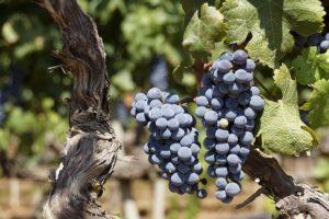 ⑤早飲み用ブドウ品種で造られたワインが並んでいる