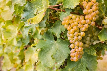 ソーヴィニヨンブラン(Sauvignon Blanc)
