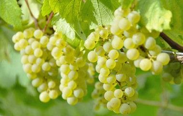 シャルドネ(Chardonnay)